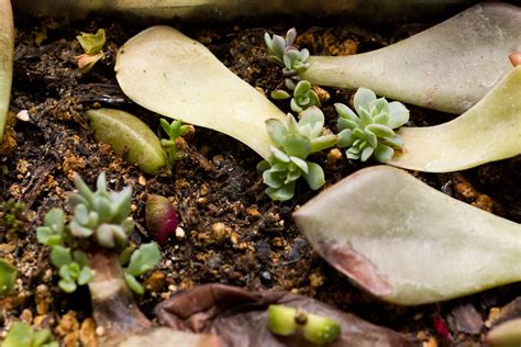 How To Propagate Succulents From Leaves And Cuttings - succulent leaf cuttings update cassidy tuttle photography