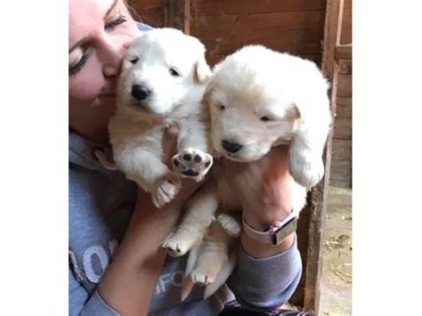 german shepherd puppies for sale oahu white german shepherd puppies for sale animals hakalau hawaii announcement 63308