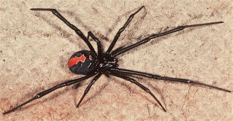 Can A Garden Spider Kill You Deadly Spider That Can Kill With One Bite Found In A Back