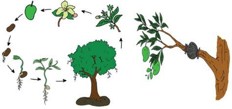 daur hidup pohon mangga mikirbae