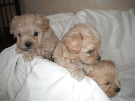 maltipoo puppies for sale in stunning apricot maltipoo puppies for sale doncaster south pets4homes