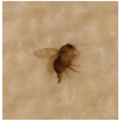 black bug with wings in bedroom scifihits com tiny flying bugs in bedroom that bite scifihits com
