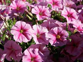 Pictures Of Petunias Flowers - wallpapers pink petunia flowers wallpapers