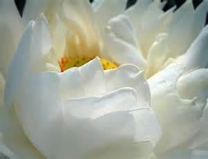 White Lotus Gallery Snow White Lotus Flower Photo Jpg