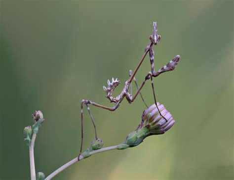 praying mantis change color purple praying mantis by lisans on deviantart