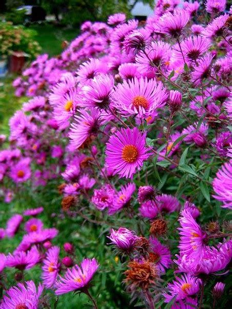 Garden Flowers Asters Picture Jpg Aster Flower Gallery