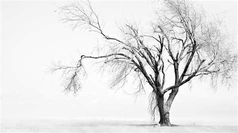 white treee black and white trees wallpaper hd desktop wallpapers