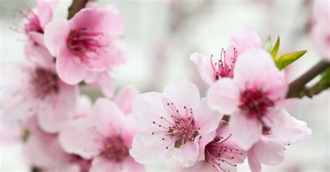fiori di bach cherry plum fiori di bach cherry plum benessere alimentazione sana