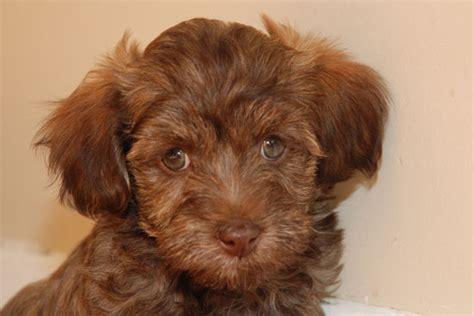 havanese toronto havanese havanese puppies havanese puppies for sale toronto rachael edwards