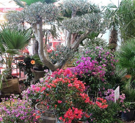 mediterrane pflanzen für den garten mediterrane pflanzen auf dem sonnenplatz lahr badische
