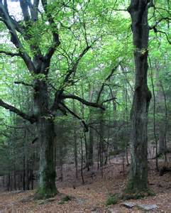 images of trees file dobrunje beech trees jpg wikimedia commons