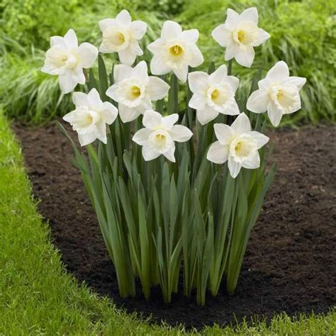 Indoor Garden Solutions - daffodil narcissus mount hood longfield gardens