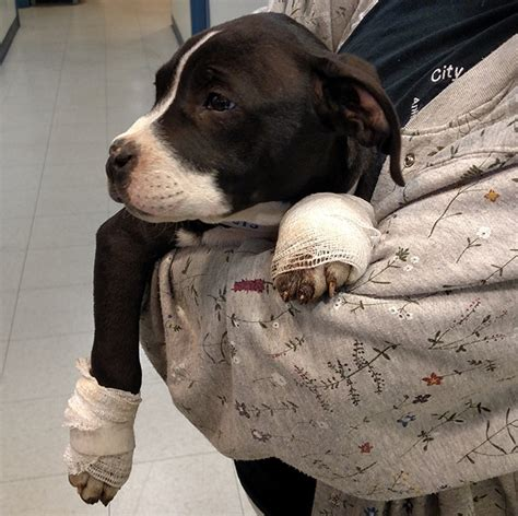 puppy beaten see what cops say happened after exhausted puppy stopped walking lehighvalleylive