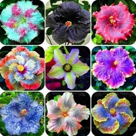 what color is hibiscus gardening hibiscus coral flower 100 seeds mix