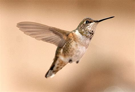 a new way to identify selasphorus hummingbirds north