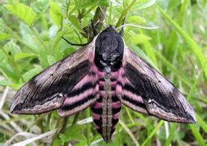 Butterfly Night Light Butterfly Conservation Privet Hawk Moth