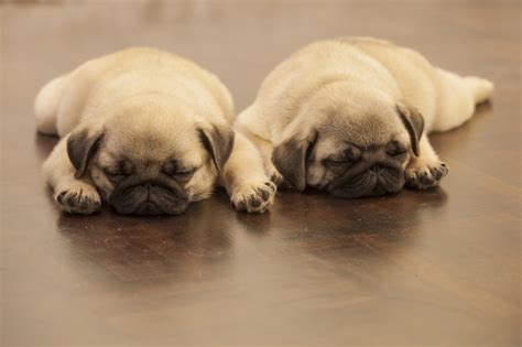 how much are pug puppies 12 adorable pug puppies that should be illegal