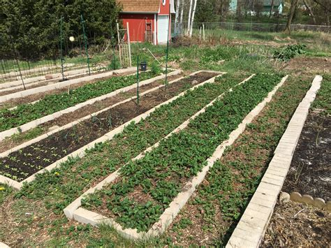 strawberry beds strawberries vegarden