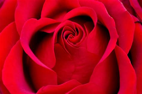 beautiful red rose  stock photo public domain pictures