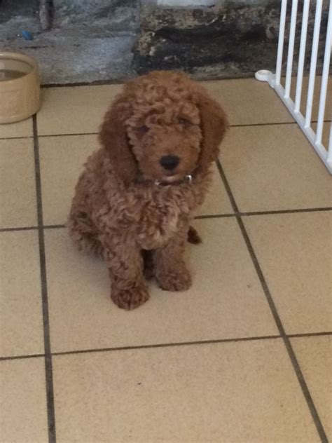 labradoodle puppy for sale labradoodle puppy for sale tavistock pets4homes