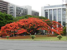 Benihbijibibit Bunga Bonsai Flamboyan Orange 1000 images about flamboyant on delonix regia trees and tree leaves