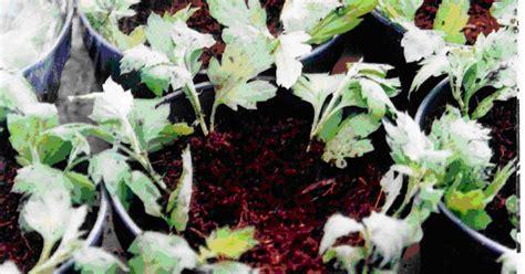 Tanaman Bunga Krisan Remix 4 Pot teknik budidaya bunga krisan pot tanaman hias dan permasalahannya