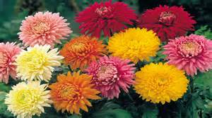 chrysanthemum colors flowers chrysanthemum flowers
