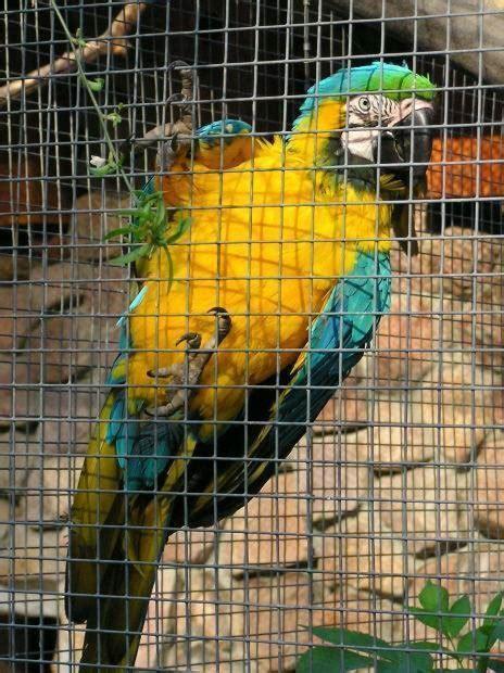 pappagallo in gabbia gabbia pappagalli pappagalli