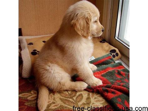 golden retriever breeders san jose golden retriever puppies for sale animals san jose california announcement 49614