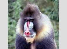 Mandrill Free Stock Photo - Public Domain Pictures My Online Account
