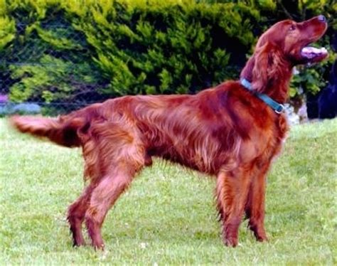 red setter dog rehoming irski crveni seter irish red setter