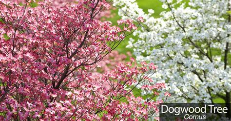 dogwood tree caring for flowering dogwood beauty