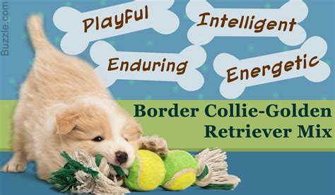 of the border golden retrievers unique characteristics of the border collie golden retriever mix