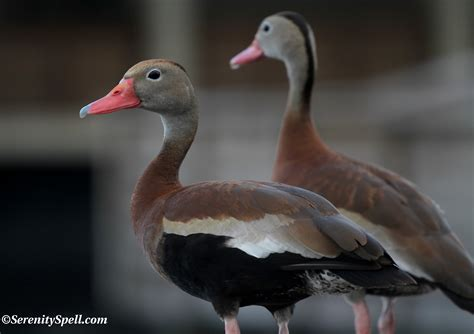 ducks serenity spell