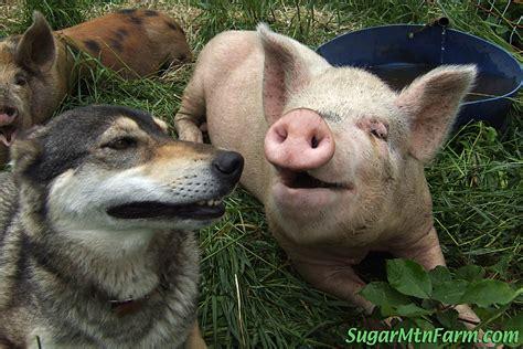 pig dogs a joke sugar mountain farm