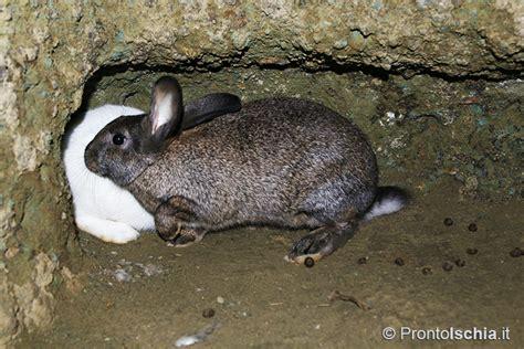 coniglio da appartamento il coniglio di fosso isola d ischia