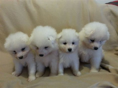samoyed puppies for sale colorado samoyed puppies for sale kc registered nottingham nottinghamshire pets4homes