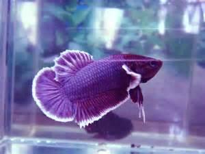 Nature?s Kaleidoscope, Volume 1: The Betta Fish   Kaleidoscope