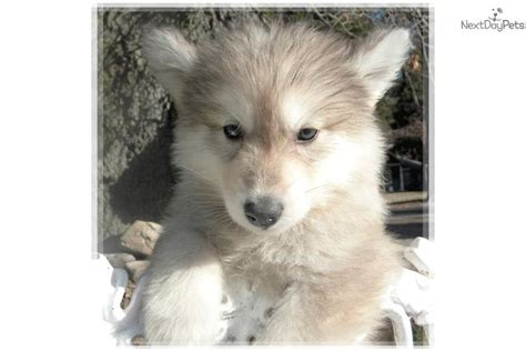 wolamute puppies for sale wolamutes wolf hybrid puppy for sale near las vegas nevada 8e031c04 85b1