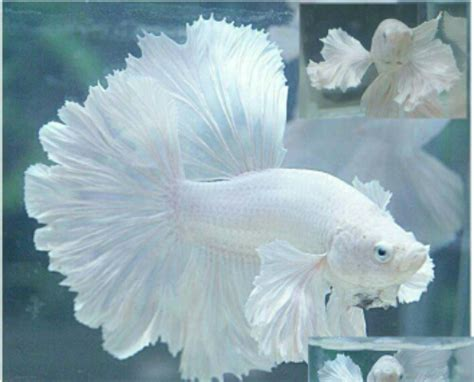 Makanan Ikan Cupang Koi ikan cupang ferboes