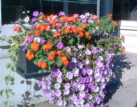 best flowers for window boxes a wallpapers home best flowers for window boxes