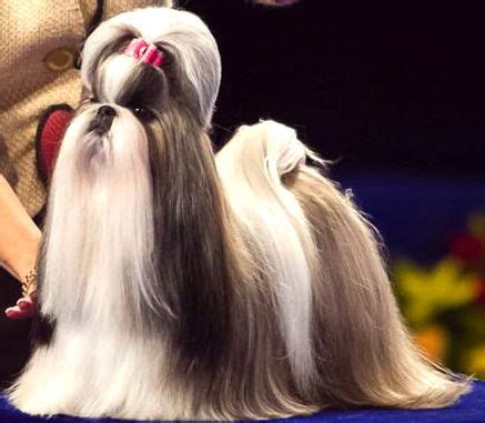 shih tzu show dogs best 25 show ideas on westminster show show and saluki