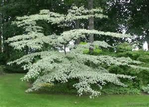 Summer Garden Rooms - cornus controversa variegata kilcannon garden centre