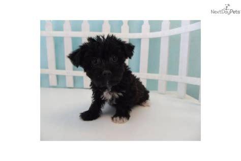 yorkie chon dogs yorkie bichon yo chon puppies absolutely adorabledog terrier breeds