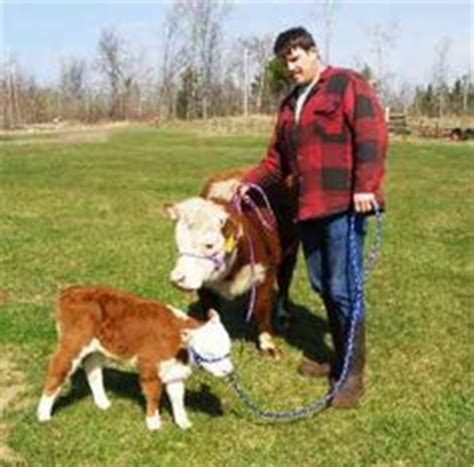 Backyard Miniature Herefords by Mini Cows Ects On Mini Cows Jersey Cows And