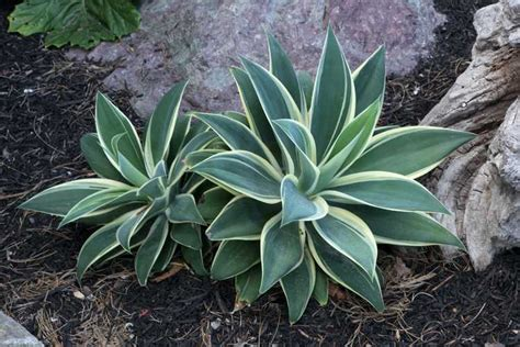agave of light san marcos growers gt products gt plants gt another image