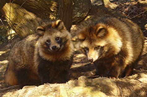japanese raccoon images