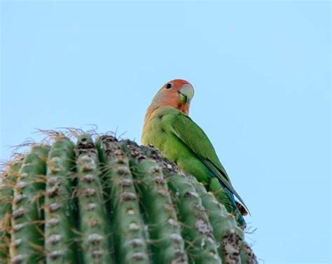 peach faced lovebirds in phoenix az parrots in cactus