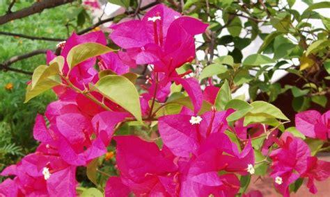 hidup  indah khasiatmanfaat bunga bugenvil