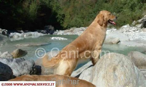 golden retriever iq golden retriever femmina capostipite dell allevamento 194760